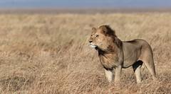 Lion in the Serengeti (alphonso49uk) Tags: lion tanzania serengeti