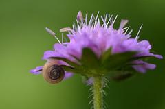 hairy snail at hairy flower (unkel.unterwegs) Tags: blumen kleinwalsertal pflanzen vorarlberg sterreich schnecke snail austria flower makro haarschnecke trochulus villosus