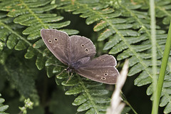 A Ringlet With Open Wings! (me'nthedogs) Tags: butterfly somerset deerpark quantocks ringlet
