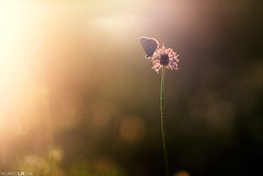 Dreaming awake (Photographordie) Tags: light sunset luz pen butterfly atardecer twilight glow dof bokeh 14 85mm olympus flare mariposa vivitar beautyinnature samyang bokehlicious rokinon samyang85mm epm2 olympuspenepm2 samyangasphericalif85mmf14