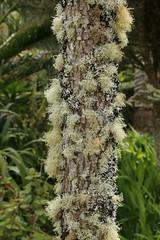 Tresco Abbey Gardens, Isles of Scilly (x70tjw) Tags: gardens tresco islesofscilly lichen