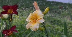 Just Dandy (BKHagar *Kim*) Tags: flowers flower nature yard garden al lily blossom outdoor alabama lilies bloom tanner bkhagar