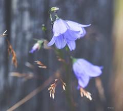 Harebell (Tone aka Hobbygaasa) Tags: flowers blue harebell canon5dmarkiii canonef100mmf28lmacroisusm