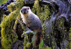 A Royal Portrait - DROH (morrobayrich) Tags: marmot yellowbeliedmarmot sequoianp droh dailyrayofhope
