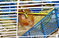 Mesocricetus auratus --  Squinty the Hamster 8363 (Tangled Bank) Tags: county pet cute beach animal fauna florida palm hamster squinty auratus 8363 mesocricetus