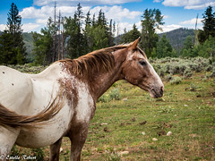 Wyoming Day 4 (estellerobertnyc) Tags: horse usa nature cheval midwest wyoming animaux cowboylife horsebackridingtrip medicinebownaturalforest
