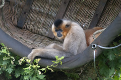 A basket of Golden-cheeked Gibbons (vic_sf49) Tags: vicsf49 uk england dorset monkeyworld cronin