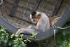 A basket of Golden-cheeked Gibbons (vic_sf49) Tags: vicsf49 uk england dorset monkeyworld cronin