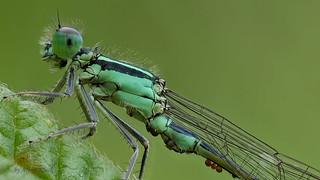Große Pechlibelle (Ischnura elegans) - Männchen, leider mit Milbenbefall