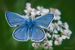 blue n1 (Makrotreff) Tags: rot makrofotografie makro makrotreff macro macrophotography butterfly schmetterling falter blue nature