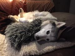 Default Position (redwolfoz) Tags: pod dog husky siberianhusky grey malamute alaskanmalamute