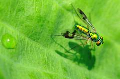 Long legged fly (SouthWestDreams ) Tags: longleggedfly gitzo sigma150macro