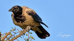 cornacchia (Tonpiga) Tags: tonpiga uccelliinlibert faunaselvatica cornacchia