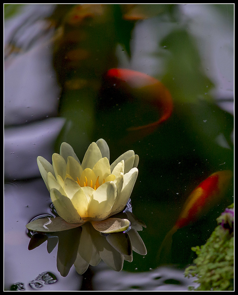 The world 39 s best photos of koi and lotus flickr hive mind for Koi fish pond lotus