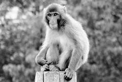 Macaca fuscata --  Japanese Macaque 1274 (2) (Tangled Bank) Tags: asahiyama zoo zoological gardens hokkaido japan primate macaca fuscata japanese macaques 1272 monkey snow
