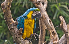 Blue-and-yellow Macaw (creati.vince) Tags: shanghaiwildanimalpark avian bird birding china creativince lake pudong shanghai macaw