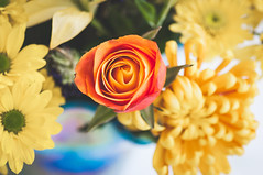 flowers from matt (Ginny Williams Photography) Tags: orange rose bouquet flowers bright vibrant macro bokeh yellow daisy roses blue vase above birdseye stems floral love colors