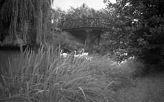 Park and lake (Arne Kuilman) Tags: germany 6x9 mediumformat 1930s thirties europe blackandwhite photonotmine maxmller ldenscheid swan zwaan swans