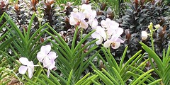 Singapore Botanic Gardens 2016 (hytam2) Tags: papilionandapuredelight papilionanda puredelight singapore botanicgardens 2016 nationalorchidgarden national orchid garden