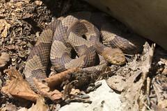 Copperhead 4 (nicoangleys) Tags: maryland herping snakes copperhead