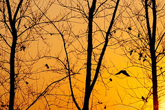 Lone Flier (GoCiP) Tags: travel photography travelogue summer day summerday sunset silhouette bird flyingbirds loner trees abstract changamanga forest jungle outskirts lahore pakistan gocip gocinematic gondal zeeshangondal