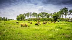 The Sheperd (dhileeban) Tags: grass green sky gloomy clouds trees sheeps sheperd nature darksky