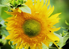 Sunflower! (WilliamND4) Tags: sunflower bright flower nikon nikond610