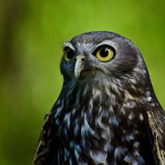 Barking Owl (armct) Tags: barkingowl ninoxconnivens raptor australian nocturnal barking native subspecies currumbin wildlife sanctuary