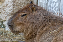 Capybara (Darth Jipsu) Tags: plaisancedutouch languedocroussillonmidipyrn france languedocroussillonmidipyrnes fr hydrochoerus hydrochaeris capybara zoo african safari animaux animals mammifre mammals