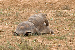Addo Elephant NP - Bergschildkrte (astroaxel) Tags: sdafrika easterncape addo elephant np bergschildkrte schildkrte