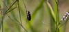 For The Spiderling's Sake (harefoot1066) Tags: nyctaginaceae boerhavia boerhaviawrighti wrightsboerhavia coleoptera polyphaga elateriformia buprestoidea metallicwoodboringbeetle buprestidae polycestinae acmaeoderini acmaeoderina acmaeodora acmaeodoramixta