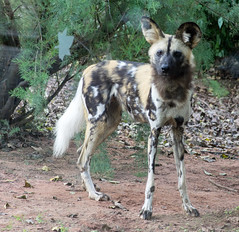 African Painted Dog (Mike Serigrapher) Tags: chester zoo lycaon pictus african wild painted dog