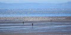 Knot and statues (Lancs & Lakes Outback Adventure Wildlife Safaris) Tags: antonygormley crosby liverpool waders knot birds flock sand beach statues mersey