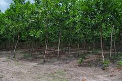 "GWD Forestry - Brazil Images <a style=""margin-left:10px; font-size:0.8em;"" href=""http://www.flickr.com/photos/47172958@N02/16536421983/"" target=""_blank"">@flickr</a>"