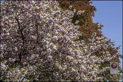 Bonn-Kirschbluete-33 (kurvenalbn) Tags: deutschland bonn pflanzen blumen nordrheinwestfalen frhling kirschbluete