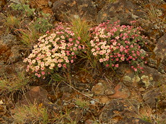 Eriogonum thymoides (Pictoscribe On The Road Til 9-26) Tags: cacti bench easter sunday shrub babcock habitat buckwheat steppe larkspur 2015 pictosscribe