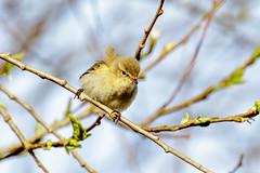 Fitis-8490 (Djien) Tags: vogels oostvaarderplassen