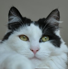 Vinnie taking a selfie (Janinegh21) Tags: portrait cats eyes gatos katzen cutecats blackandwhitecat beautifulcats longhairedcats catsonly somethingintheeyes