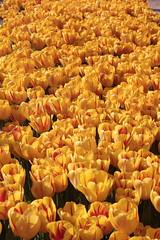 _MG_4338 (Gkmen Kmrt) Tags: flower tulip 2015 emirgan laleler