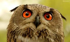 Owl (karthik.rao) Tags: new york newyork zoo nocturnal bronx bronxzoo orangeeyes zoosofnorthamerica