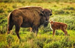 A Red Dawg (Jeff Clow) Tags: wild usa spring buffalo bravo wildlife reddog bison grandtetonnationalpark babybison jacksonholewyoming reddawg