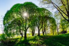Iisalmi (Tuomo Lindfors) Tags: sun lake tree suomi finland puu jrvi aurinko iisalmi colorefexpro niksoftware viveza theacademytreealley paloisjrvi