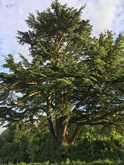 Goodworth Clatford (HerryLawford) Tags: evening cedar sw liv jol goodworthclatford