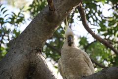cooks-river-120716-022 (alison.klein) Tags: cockatoo australianbirds cooksriver