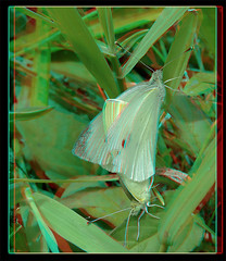 Pieris Rapae, Mating Cabbage White Butterflies 1 - Anaglyph 3D (DarkOnus) Tags: white macro sex closeup wednesday insect lumix stereogram 3d day pennsylvania butterflies anaglyph panasonic stereo cabbage mating stereography buckscounty hump humping pieris rapae ihd hihd dmcfz35 insecthumpday darkonus