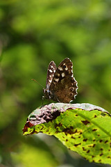 Speckled Wood (13783) (jonathanclark) Tags: wood summer macro woodland butterfly insect woods belfast kinnegar