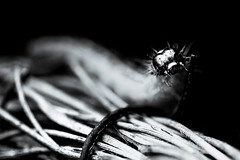 Cydalima perspectalis (chmeermann | www.chm-photography.com) Tags: portrait bw monochrome blackwhite nikon sigma portrt sw makro lightroom 105mmf28 schwarzweis querformat landscapeformat d7100 silverefexpro2