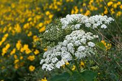 Wildflowers (HubbleColor {Zolt}) Tags: travel yellowstonenationalpark wildflowers wy wyoming