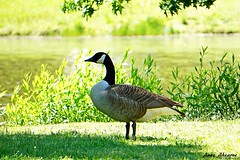 Canada Goose by the Lake (--Anne--) Tags: canada geese goose canadiangoose canadiangeese canadagoose canadageese bird birds birdwatching birdphotography park lake summer sunshine water