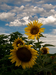 20160723-IMG_0125 (MandoCatDSM) Tags: sunflowers badger creek wildflowers sunrise